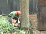 Preparing to fell a large tree close to outbuildings.