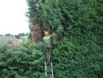 Cutting a Leylandi hedge down to size.